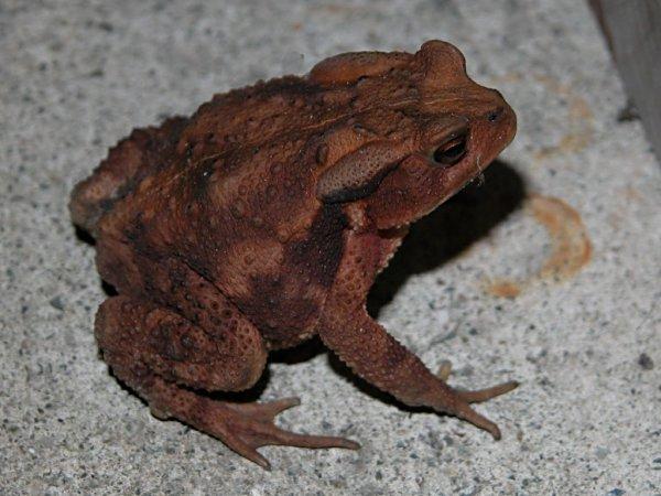 ニホンヒキガエルの画像 p1_26