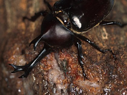 カブトムシの画像 p1_3