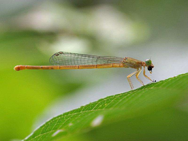とんぼ 蜻蛉 餌 幼虫 羽化 期間